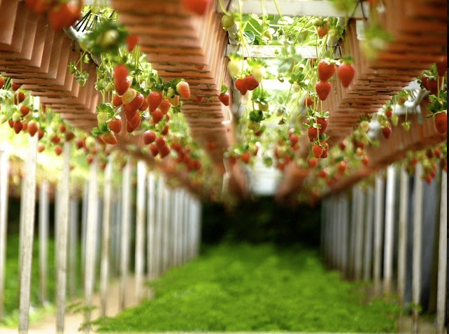 Strawberry pickers (in NL)