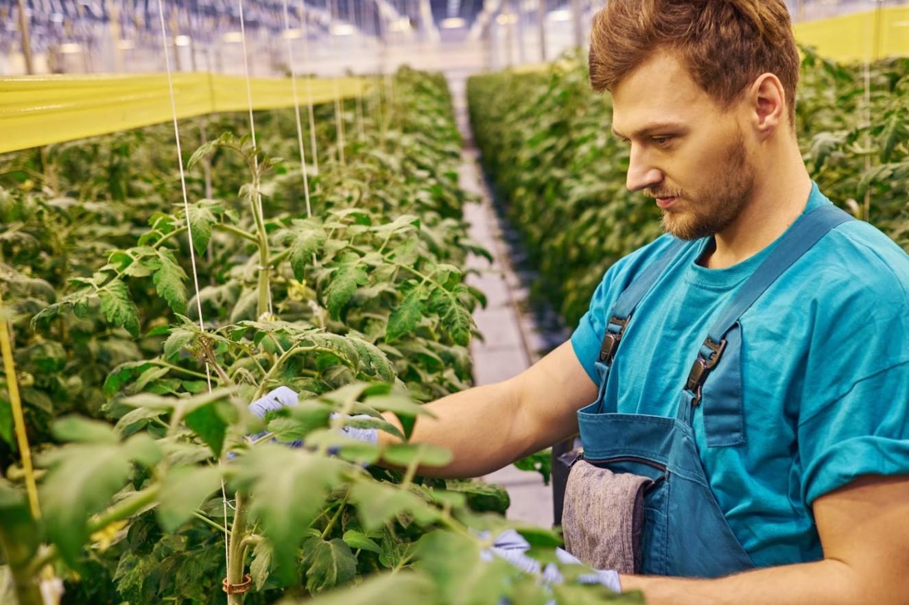Tomato greenhouse worker