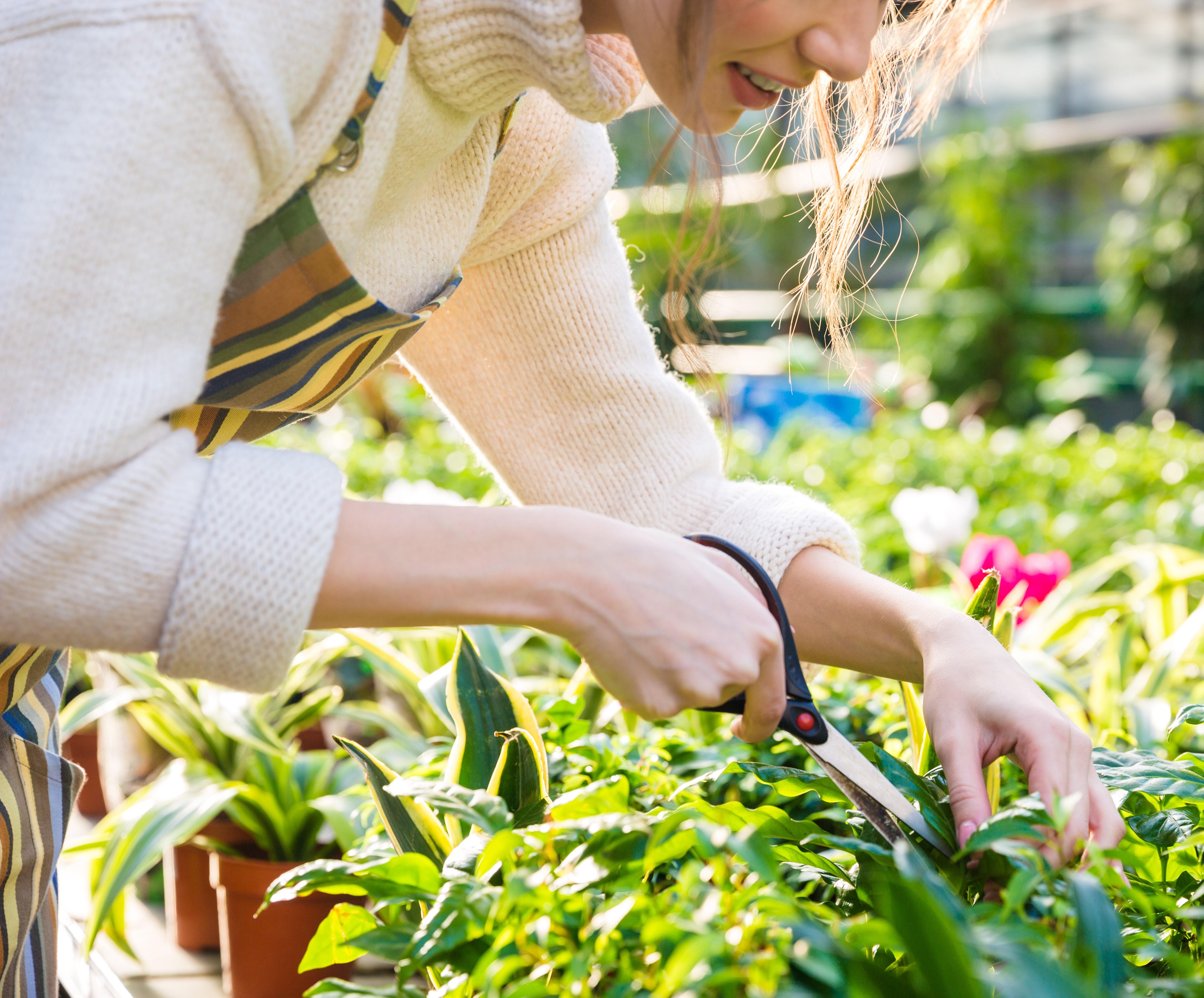 Trabajador de invernadero (vivero de Gerberas)