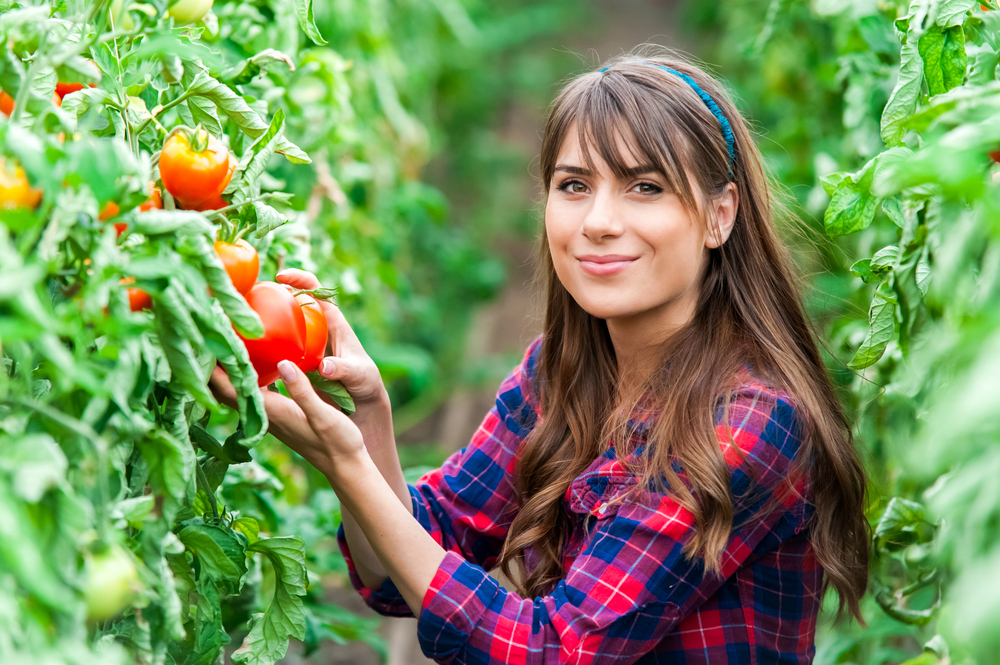Greenhouse worker (vine tomatoes)