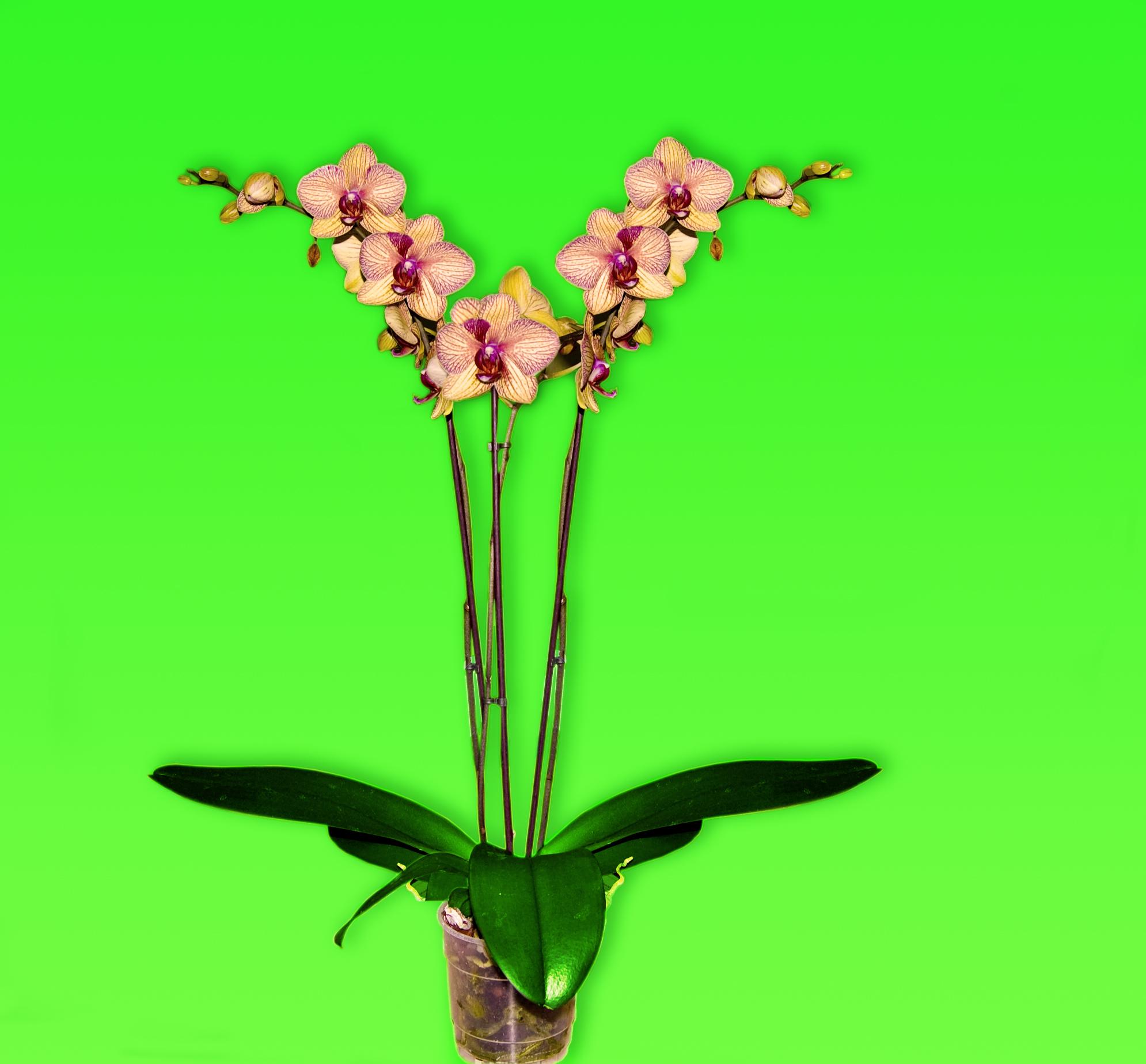 Orchidėjų šiltnamio darbuotojas